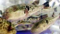 Deadly Blowfish Sold at Grocery Stores
